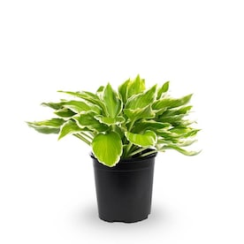 2.5-Quart in Pot Plantain Lily