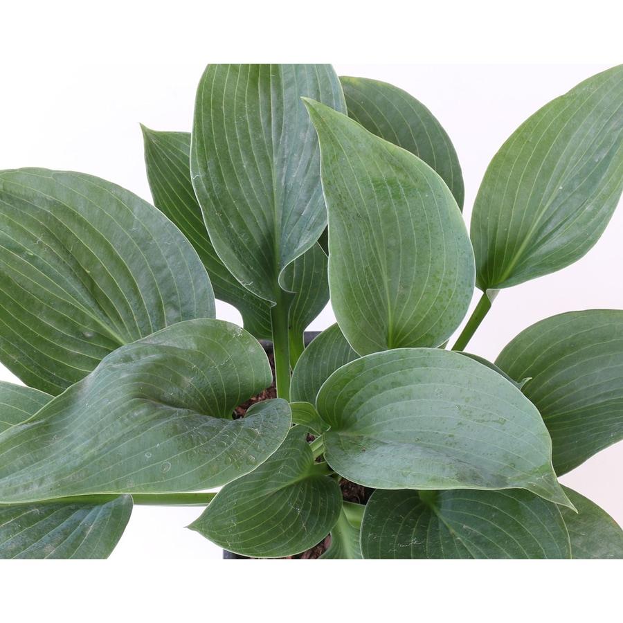 2.5-Quart Plantain Lily