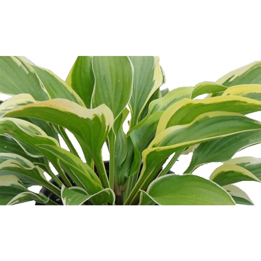 1.5-Gallon Plantain Lily