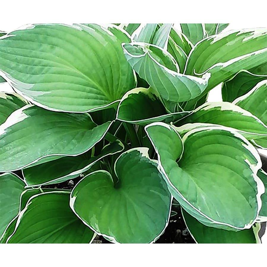 Monrovia 2.5-Quart Plantain Lily