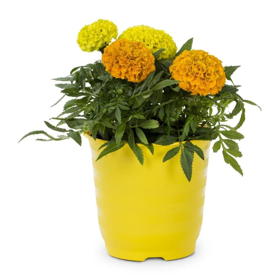 2.35-Quart Yellow French Marigold in Pot (L17086)
