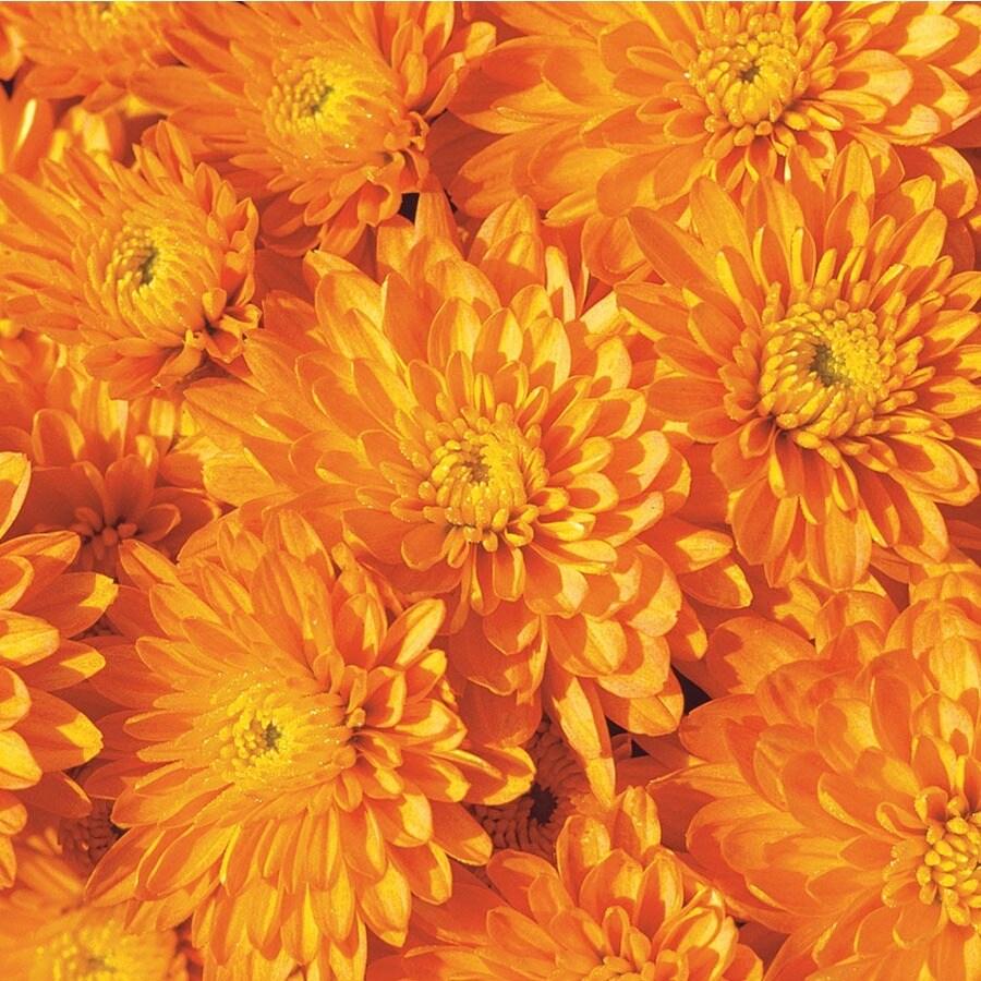 3-Quart Orange Mum (L5584)