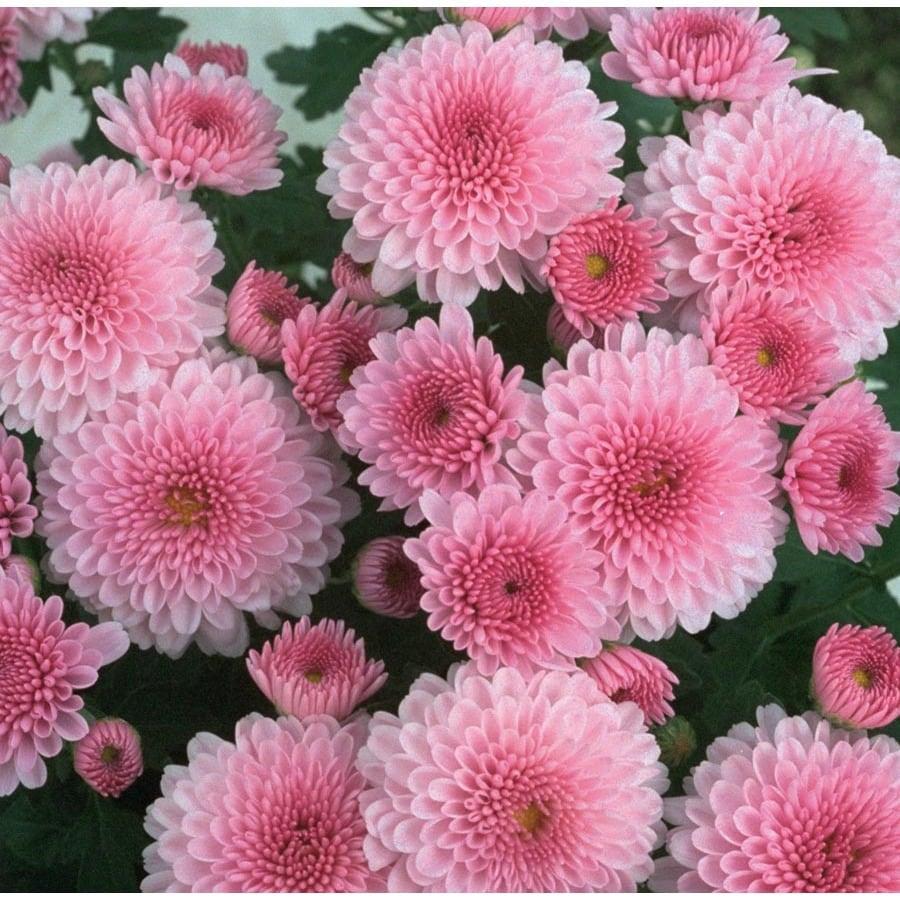 1.64-Pint Pink Mum (L17723)