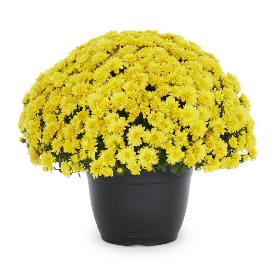 1.75-Gallon Yellow Mum (L7453)