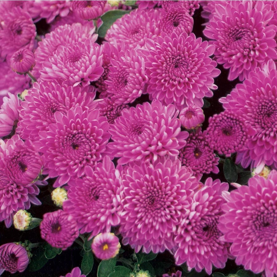 1.75-Gallon Purple Mum (L17744)