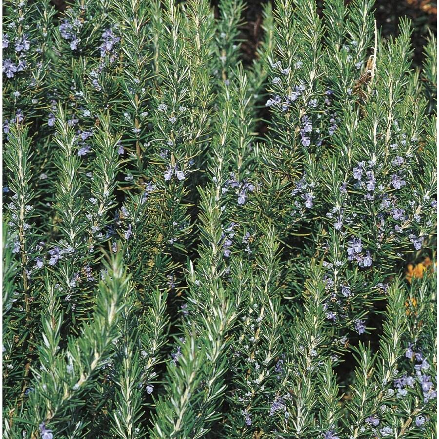 2-Gallon Blue Rosemary Accent Shrub (L7037)