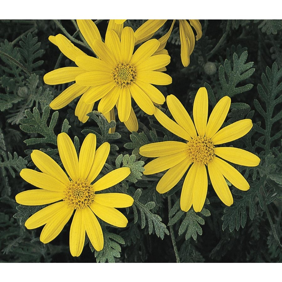 2-Gallon Bush Daisy (L15543)