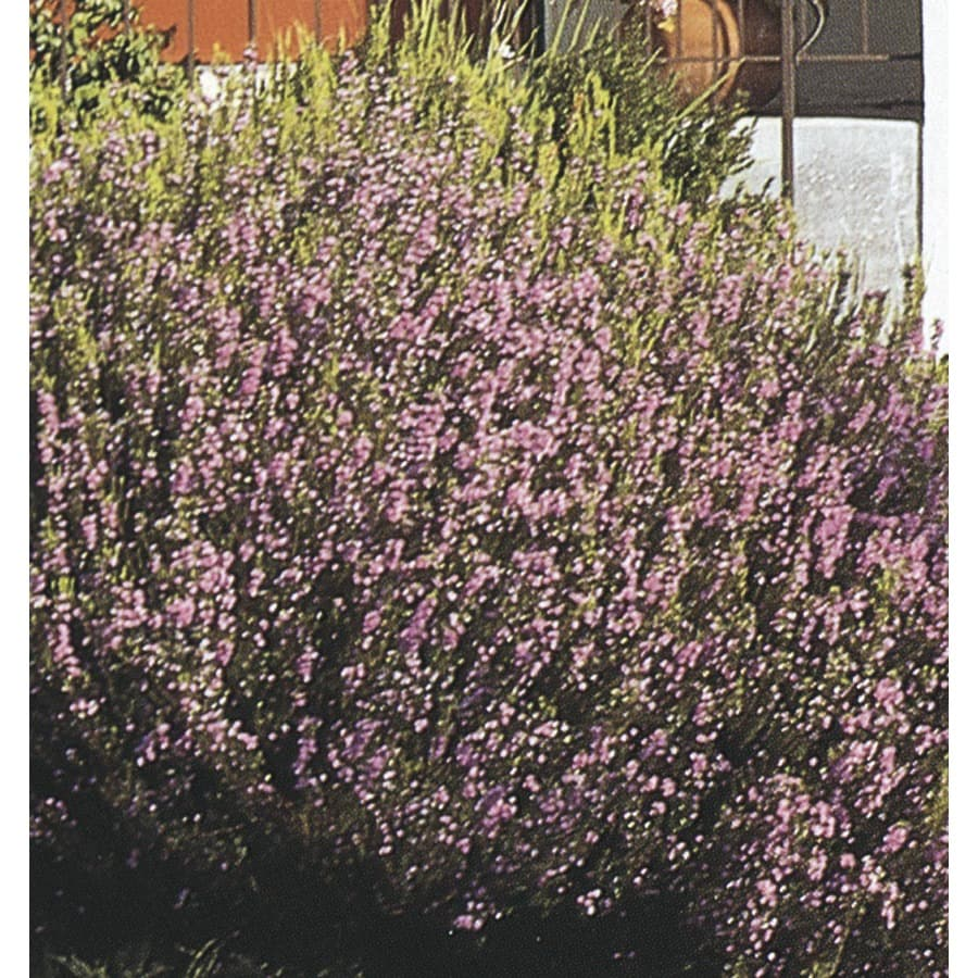 2-Gallon Pink Breath of Heaven Flowering Shrub (L3084)