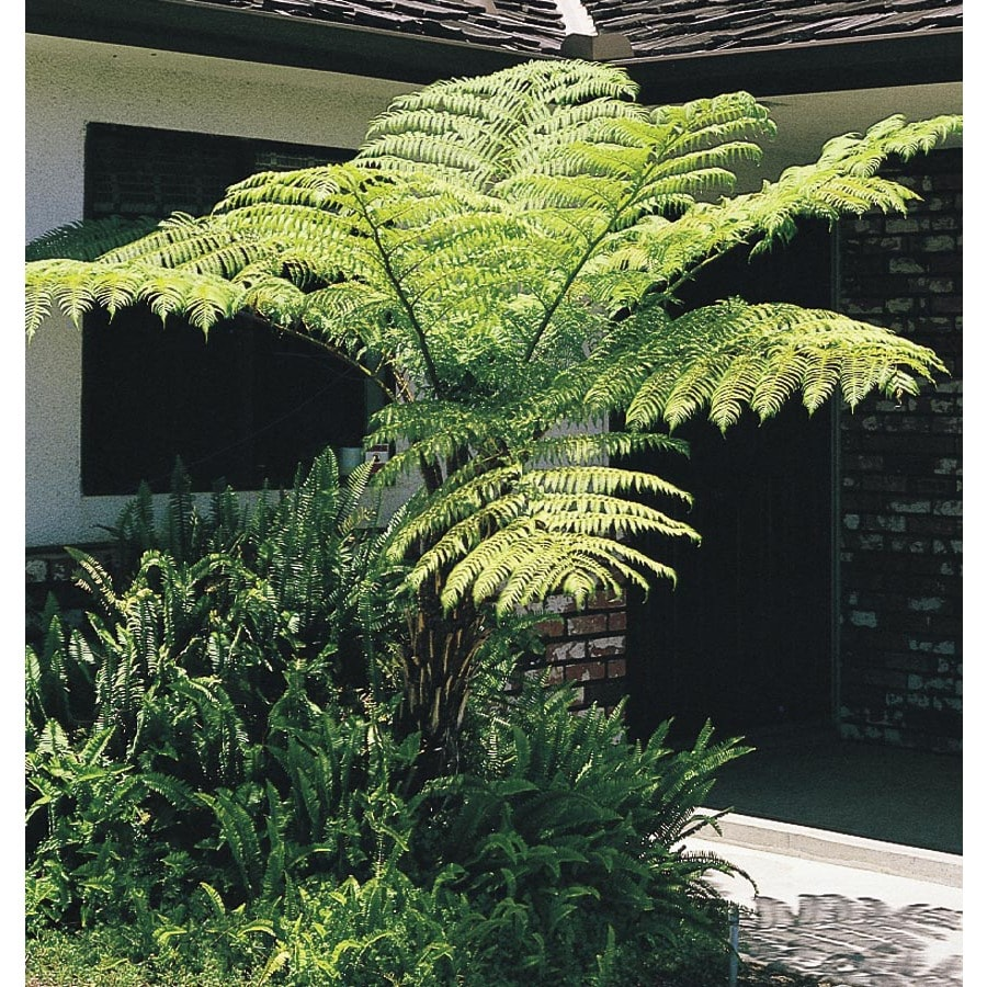 2-Gallon Australian Tree Fern (L11787)