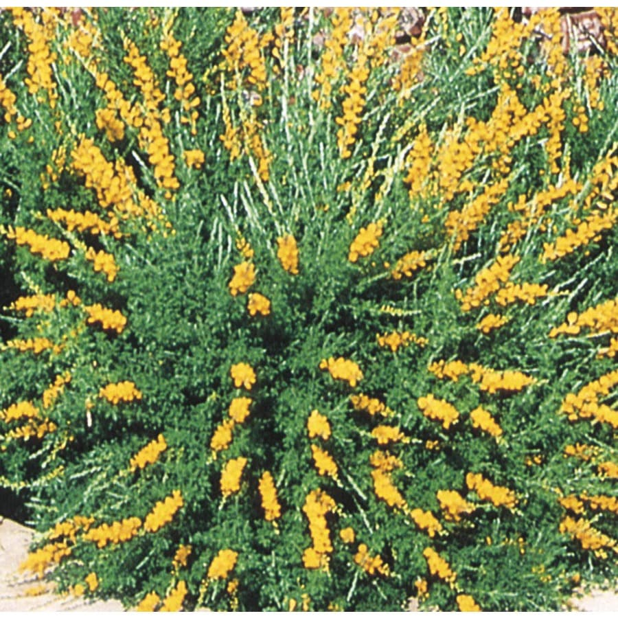 Shop 2 gallon orange sweet broom accent shrub l3064 at for Garden shrubs