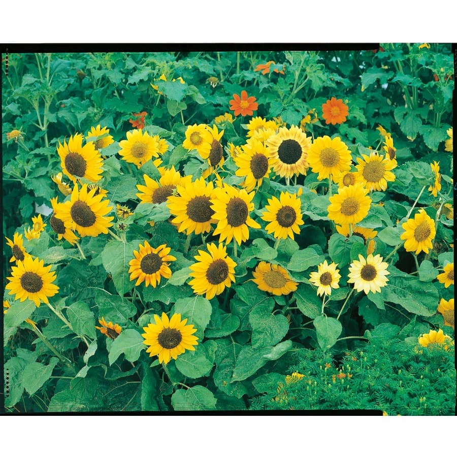 2.5-Quart Sunflower (L11281)