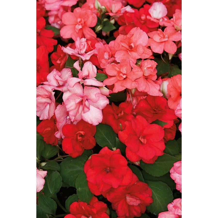 Shop 25 Quart Multicolor Double Impatiens In Pot L9882 At Lowes