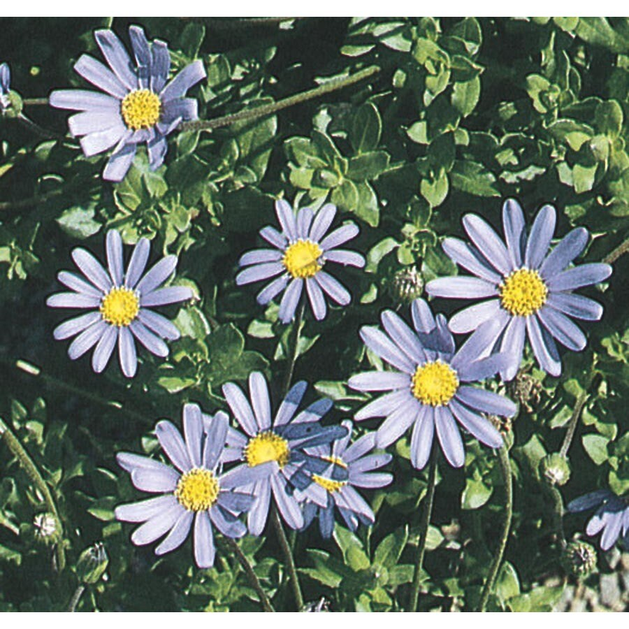 2.5-Quart Blue Marguerite (L9403)