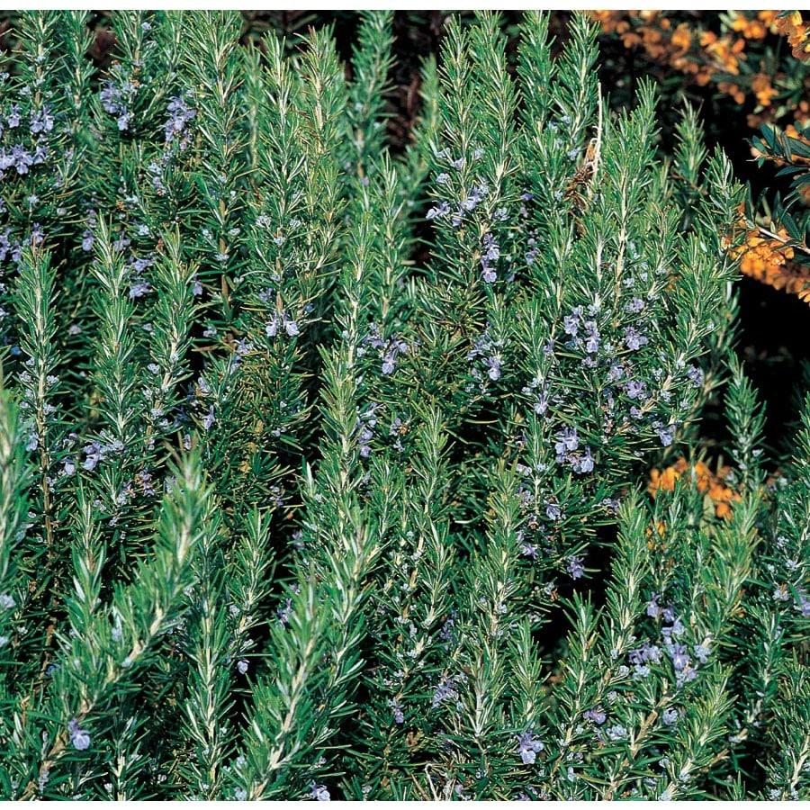 0.5 Flat Blue Rosemary Accent Shrub (L7037)