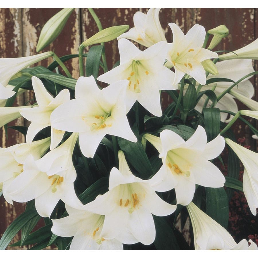 Shop 125 quart easter lily l2295 at lowes 125 quart easter lily l2295 izmirmasajfo