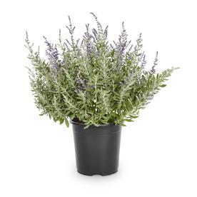2.5-Quart in Pot Russian Sage (L5491)