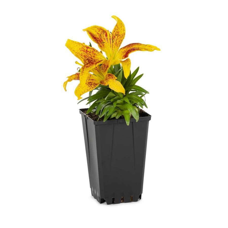 1-Quart Asiatic Lily (Lw01857)