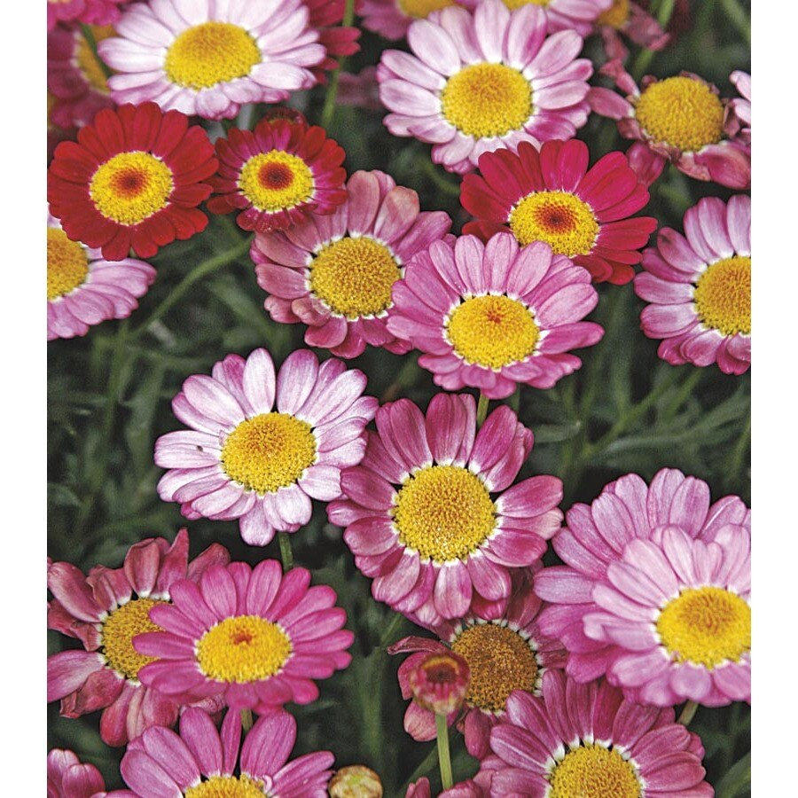 6-Pack Marguerite Daisy (Lw00222)