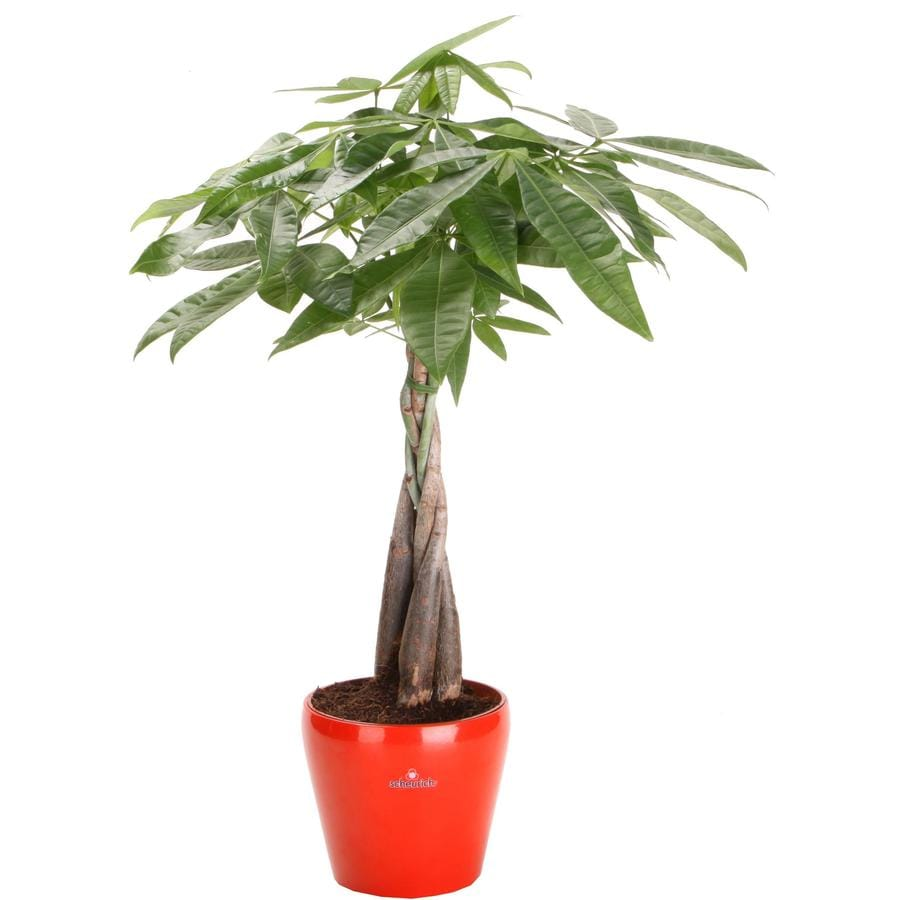 6-in Money Tree in Planter