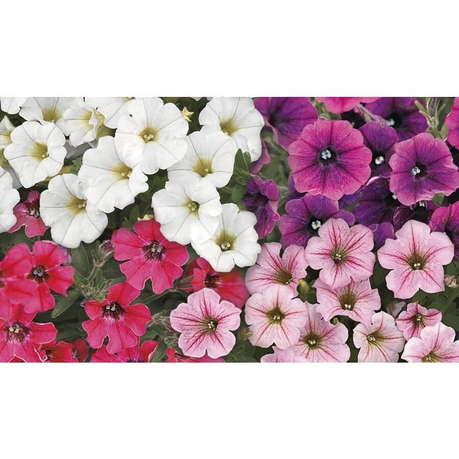 6-Pack Littletunia Petunia (L22815)