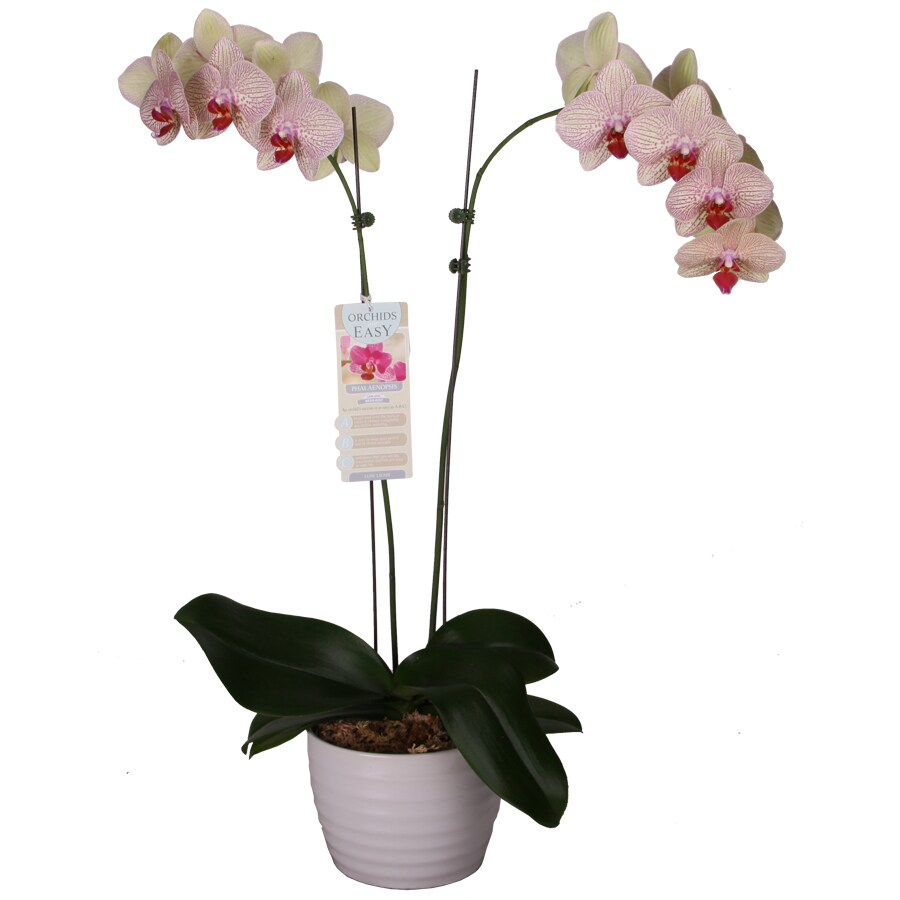 1.25-Quart Phalaenopsis in Planter