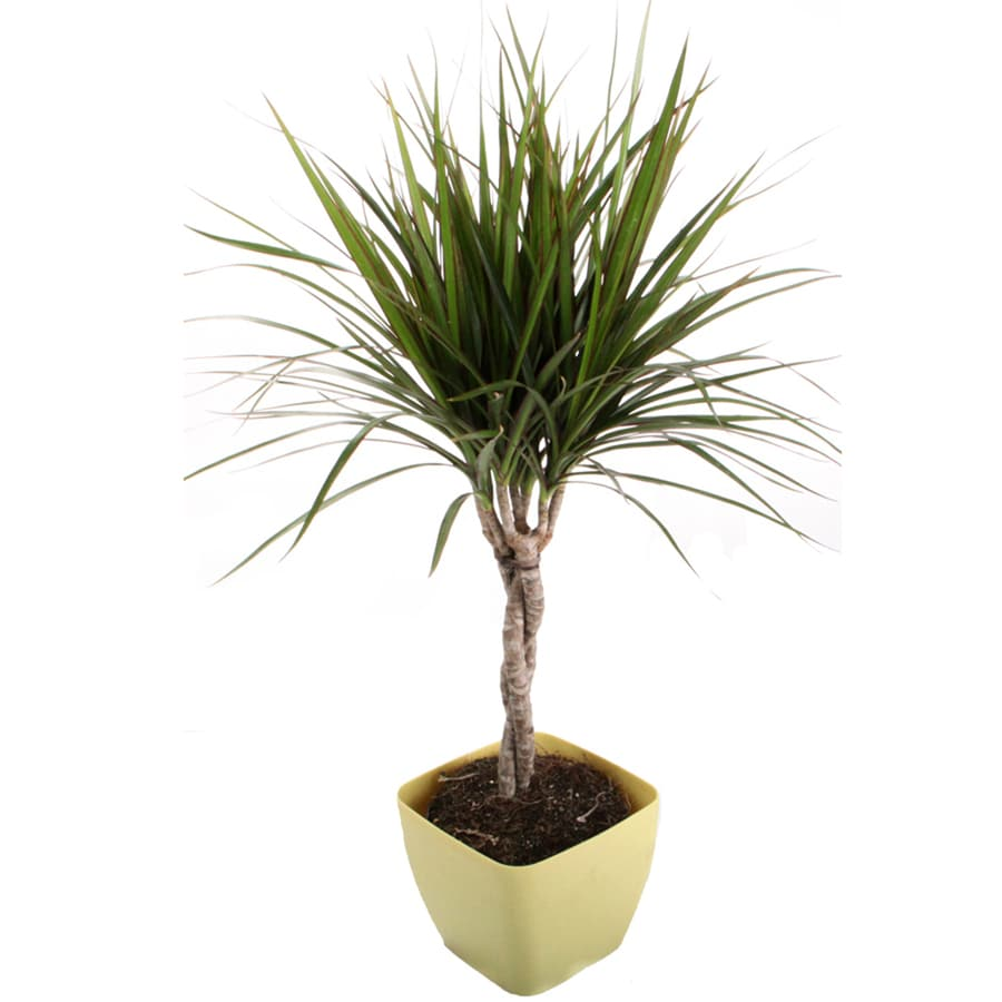 shop dracaena marginata green braid in quart green