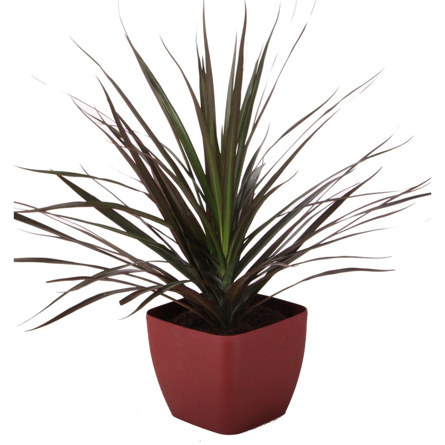 shop quart dracaena marginata magenta in planter at. Black Bedroom Furniture Sets. Home Design Ideas