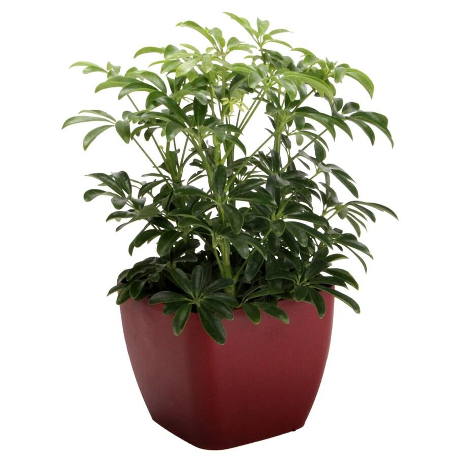1.25-Quart Schefflera Arboricola Luceane in Planter
