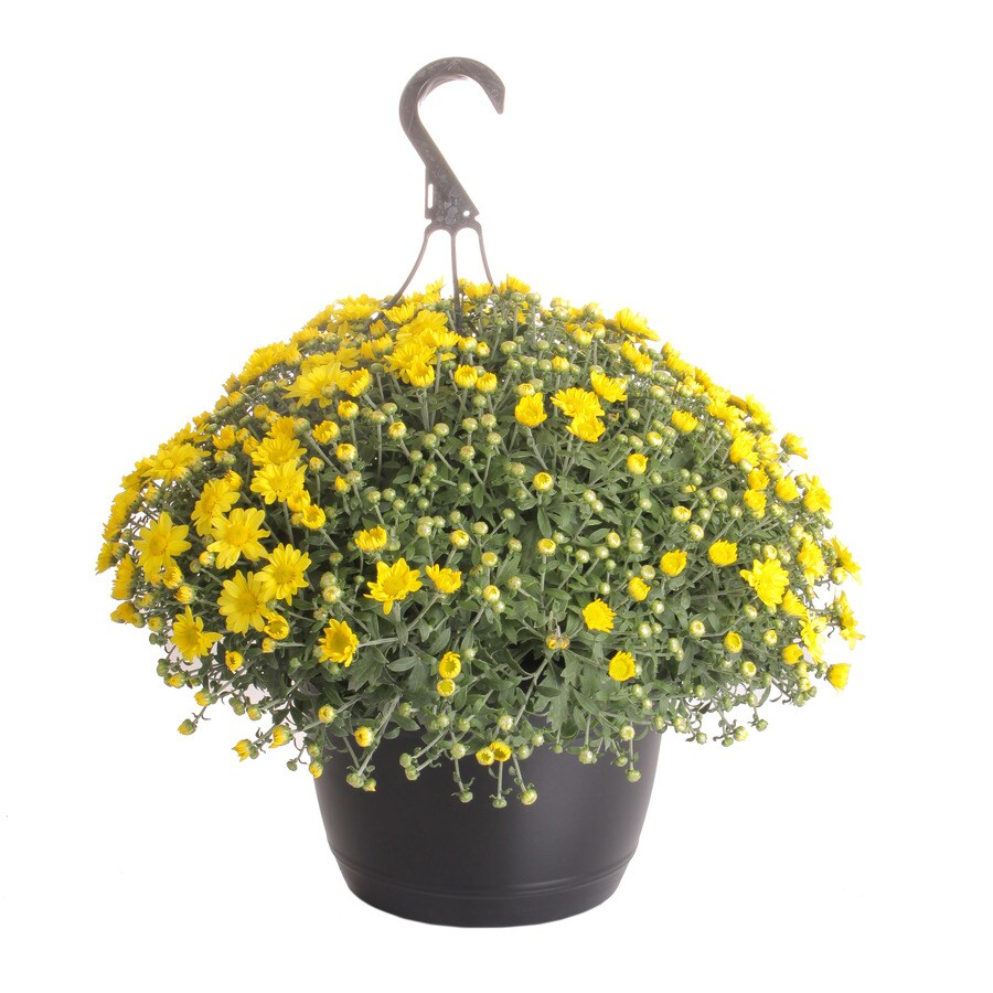 Shop 1 5 gallon mum l17375 at lowes com