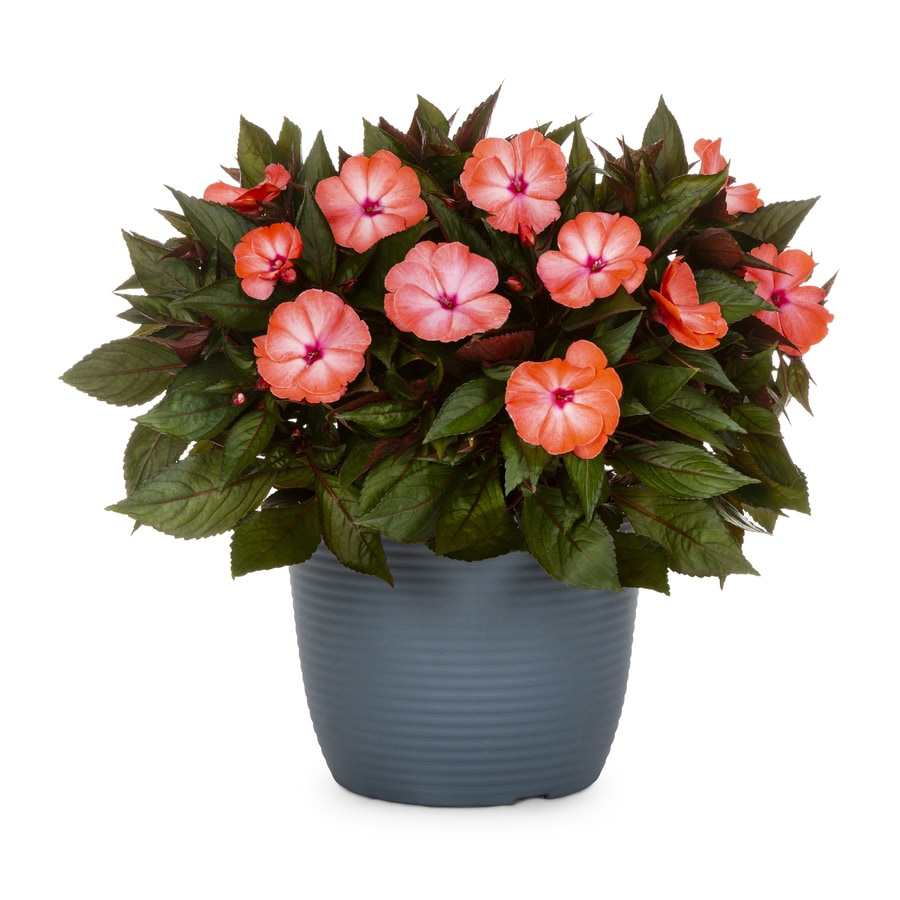 1.75-Gallon New Guinea Impatiens (L3080)