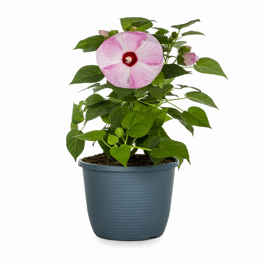 1.75-Gallon Luna Blush Hibiscus (L14851)