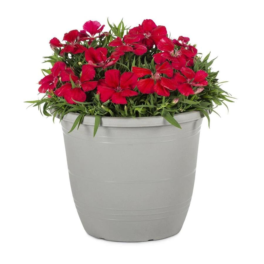 1-Gallon Dianthus (L17860)