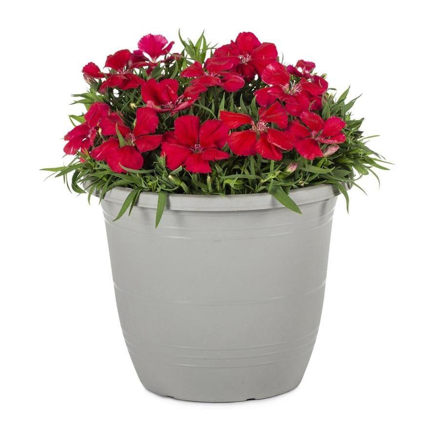 1-Gallon Dianthus (L17860)