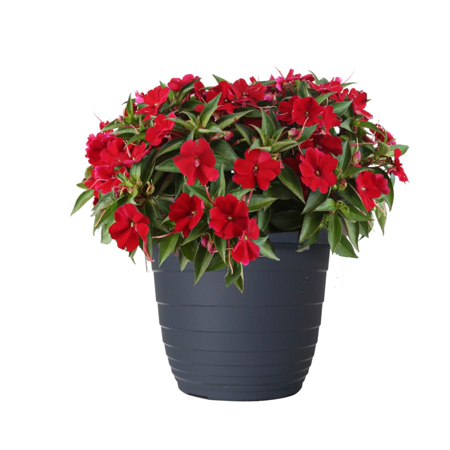 1.5-Gallon Sunpatiens (L21670)