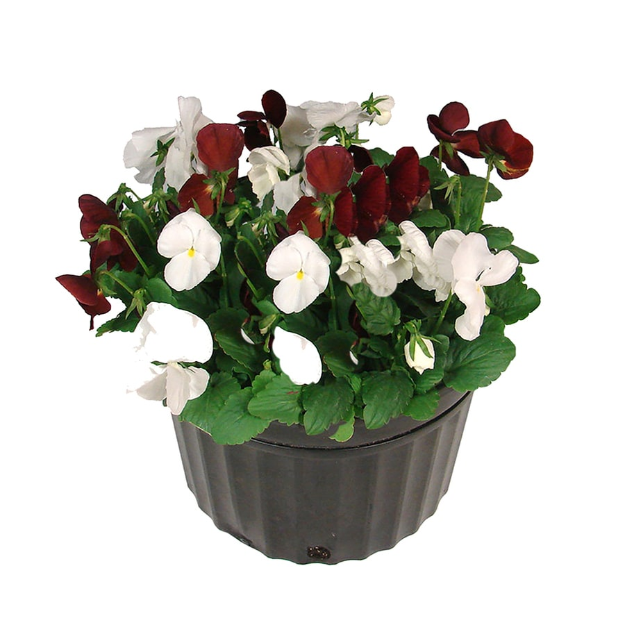 1.5-Gallon Temporary Container Mixed Annuals Combinations