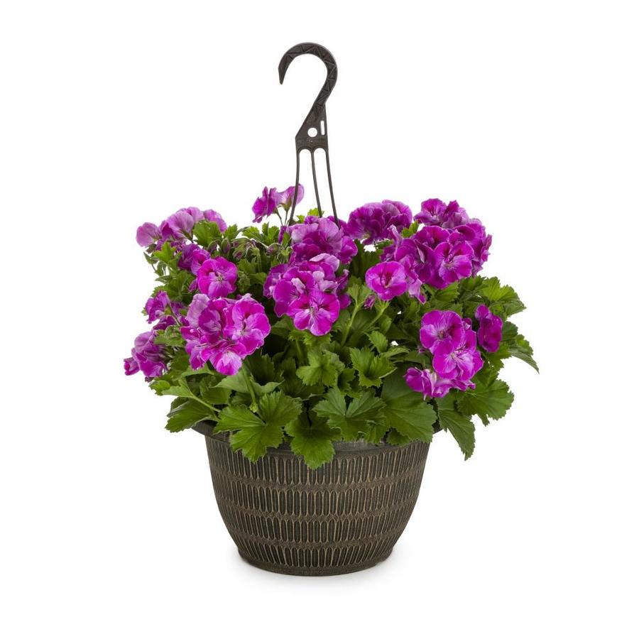 2-Gallon Martha Washington Geranium (L9583)