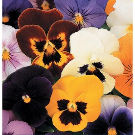 1.5-Gallon Multicolor Pansy in Hanging Basket (L5048)