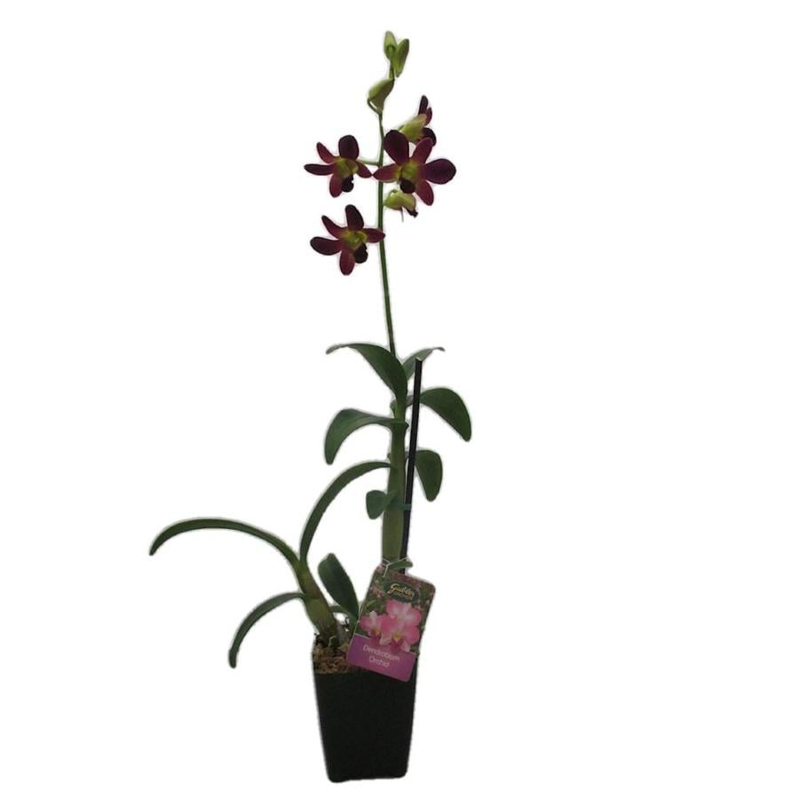 2.5-Quart Reed Orchid (L22943)