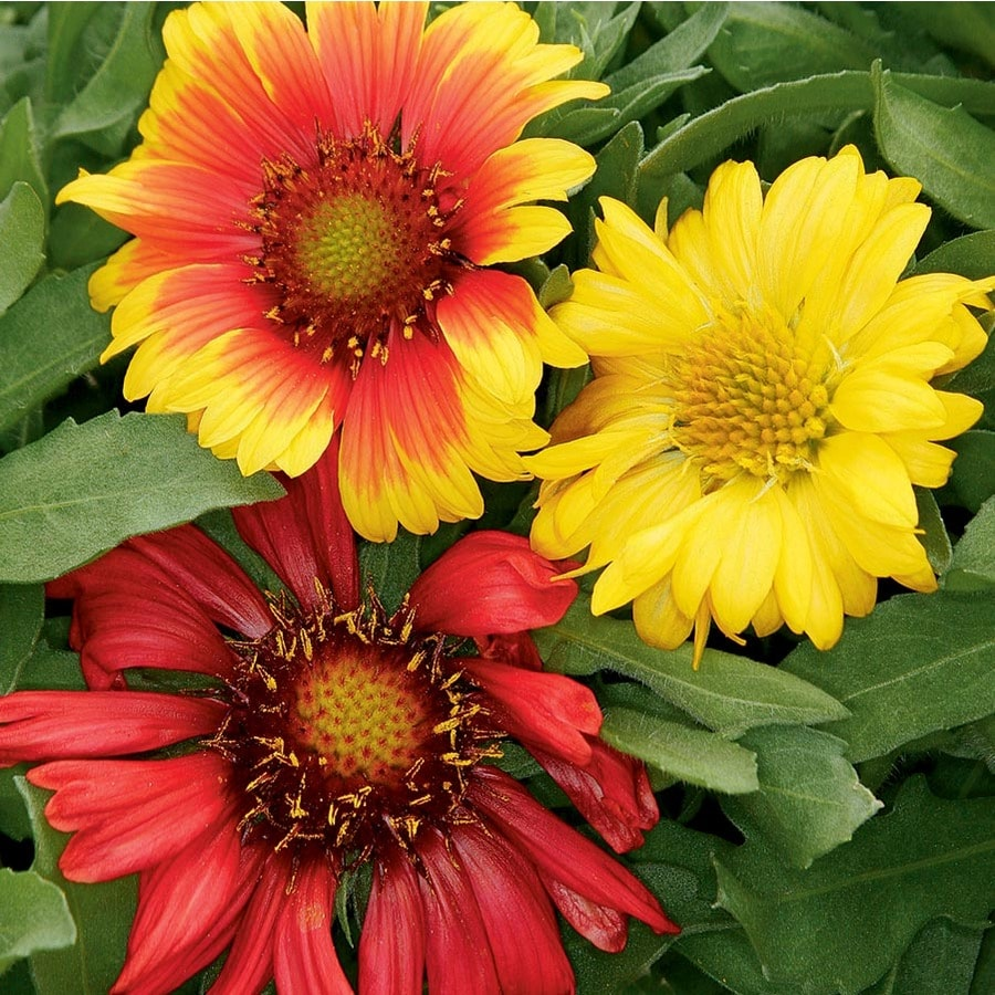 1.5-Gallon Gaillardia (L24471)
