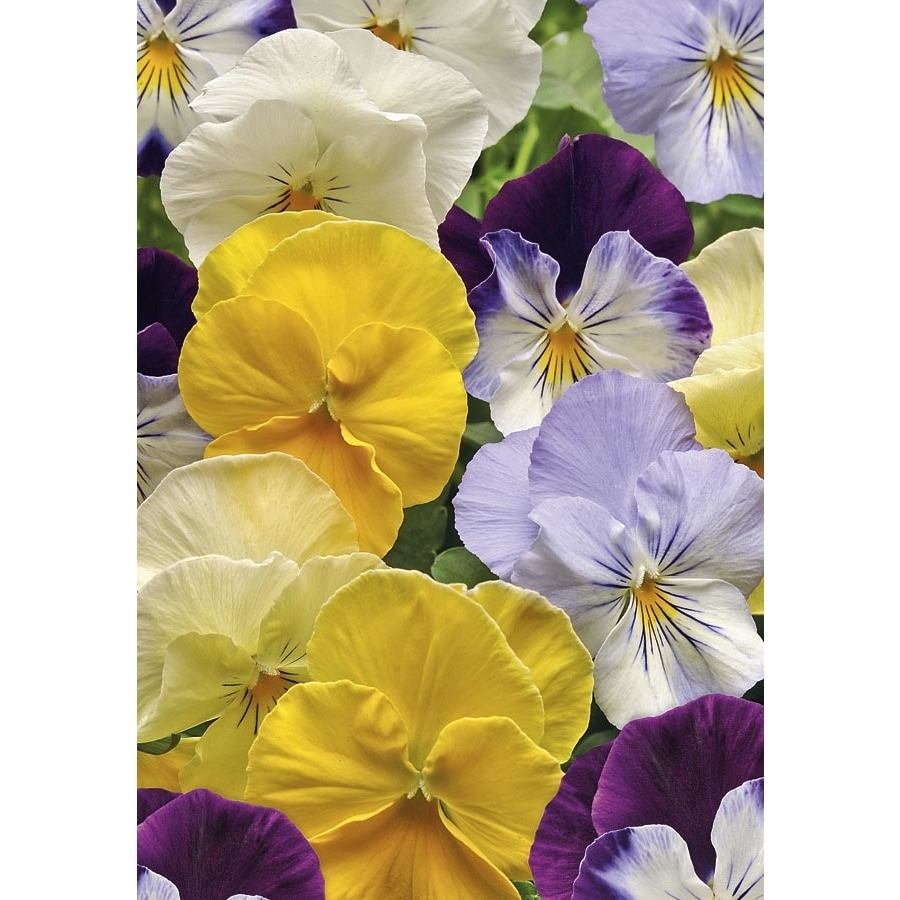 2-Gallon Cool Wave Mix Spreading Pansy (L24612)