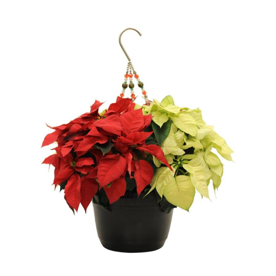 1.5-Gallon Poinsettia (L17756hp)