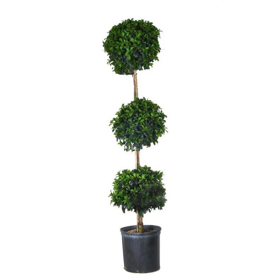 White Eugenia Topiary Shrub (L20938HP)