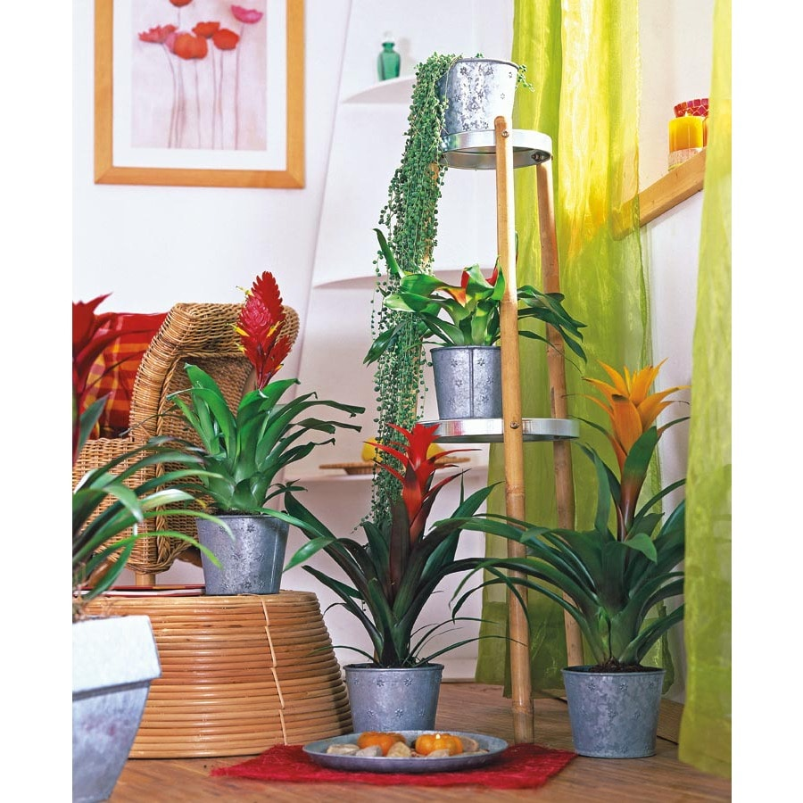 Bromeliads (L292HP)