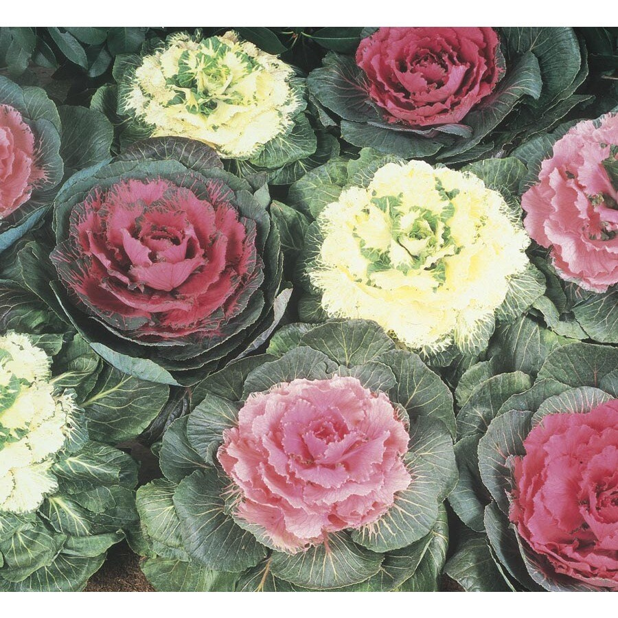1-Pint Ornamental Cabbage (Lbp003)