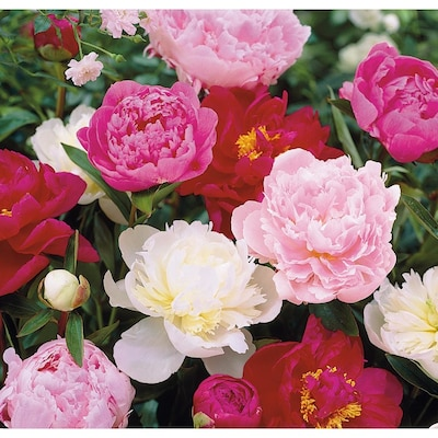 3 Gallon In Pot Peony Lb16167 At Lowes