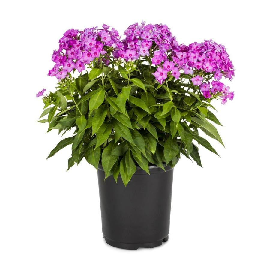 Shop 25 Quart Garden Phlox L6680 at Lowescom
