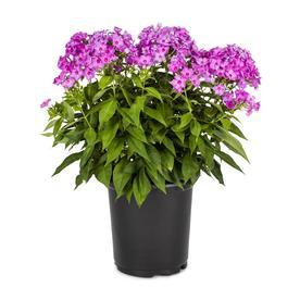 2.5-Quart in Pot Garden Phlox (L6680)