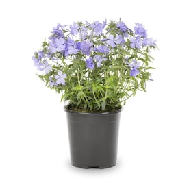 2.5-Quart in Pot Woodland Phlox (L04305)