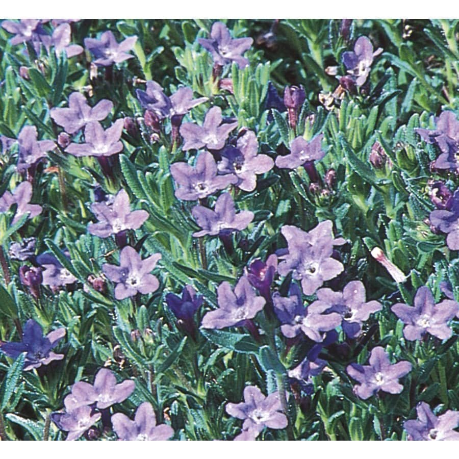 2.5-Quart Lithodora (L11450)