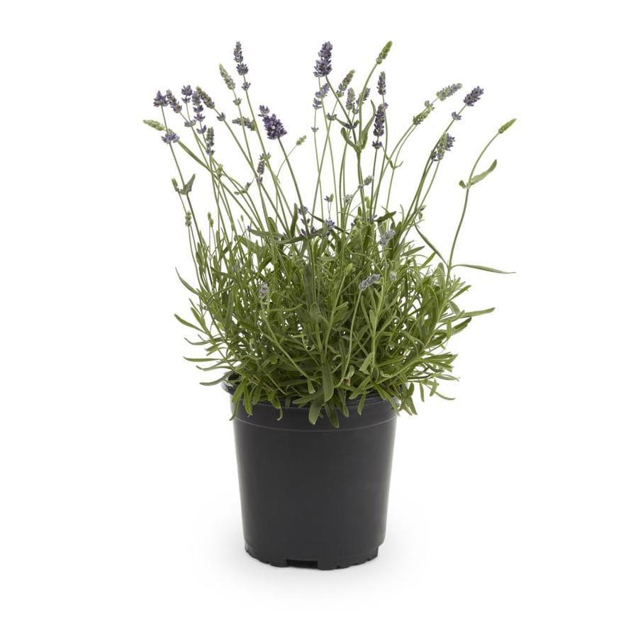 2.5-Quart English Lavender (L6071)